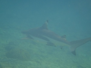 black tip reef shark 2